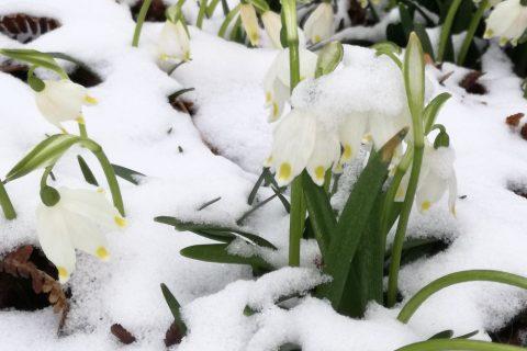 Frühlingsknotenblumen im Schnee